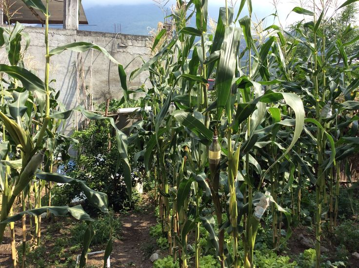 Plastic bottles protect ears of corn from birds