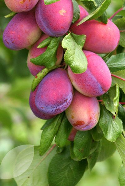 Plum 'Victoria' - A reliable, self-fertile plum which produces a heavy crop of large, pale red fruit with golden-yellow flesh, which can be used for cooking, canning, bottling or just eating fresh.