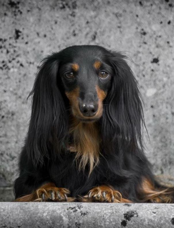 Longhaired Dachshund Black And Tan Doxie Dog Puppy Doxie Dogs