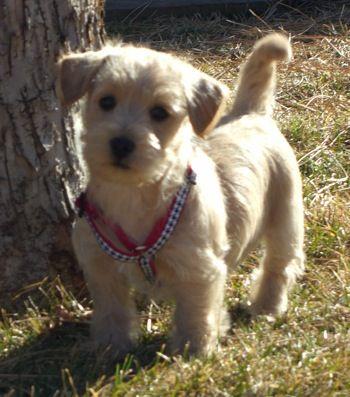 Best 25 Poodle Mix Puppies Ideas On Pinterest Poodle