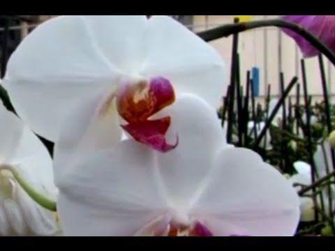Orkide (Orchidaceae) - Özelliği, Çoğaltımı, Bakımı, Sulaması, Budaması 5...