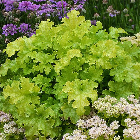 When you're planning a shade garden, look for plants with a natural glow that stand out even on gloomy days. 'Lime Ruffles' heuchera is a good example of a plant that seems to radiate light. Its ruffled, bright lime green foliage is a standout, even from a distance. 'Lime Ruffles' is relatively heat-resistant and can even take full sun in cooler climates. The plant also develops white flowers in the fall. Name: Heuchera 'Lime Ruffles' Growing Conditions: Partial shade, Shade Size: 8–11…
