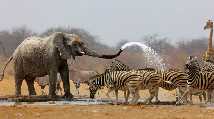elephant wants you to cool off.: Elephants Shower, Amazing Natural, Safari, Hot Day, Shower Time, Photo, Zebras, Bath Time, Animal