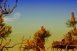 FEA-0007279 © WestPix Osprey eagle on nest looking at the moon rise. Picture: Shaun Fearn