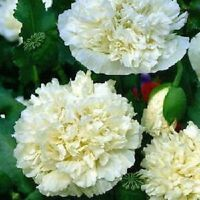 100+ Cream Peony Poppy Flower Seeds / Papaver/ Annual