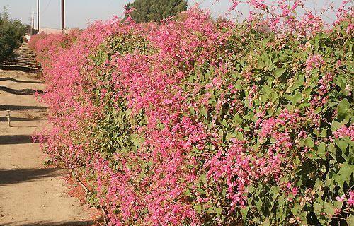 Amor-agarradinho ou mimo-do-céu (Antigonon leptopus): sua folhagem é brilhante e a floração cor-de-rosa é abundante e delicada. A condução com fios de nylon é fundamental para sua adaptação. Originária do México, deve ser cultivada sob sol pleno.
