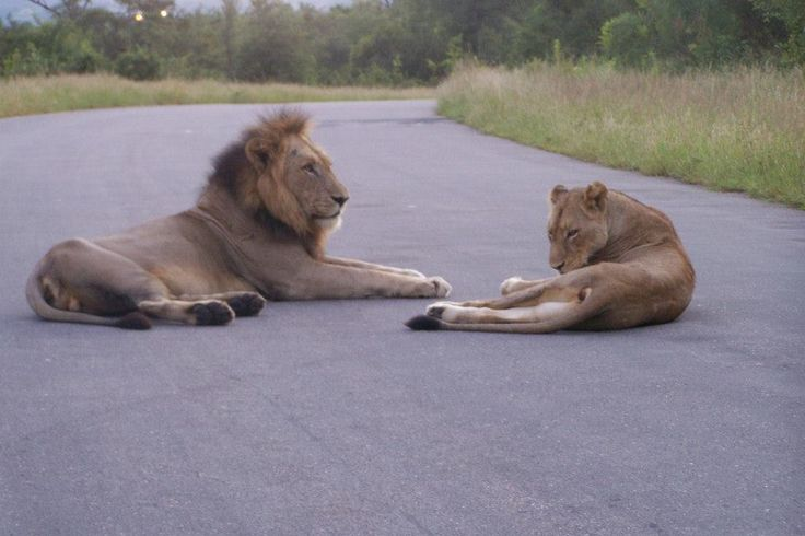Lions that have been spotted.