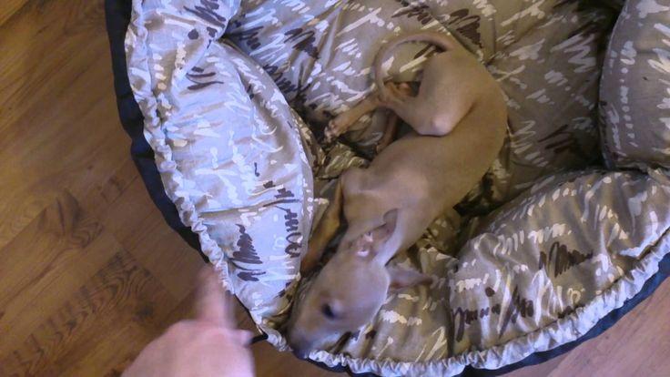 Italian Greyhound Puppy - Pure happiness