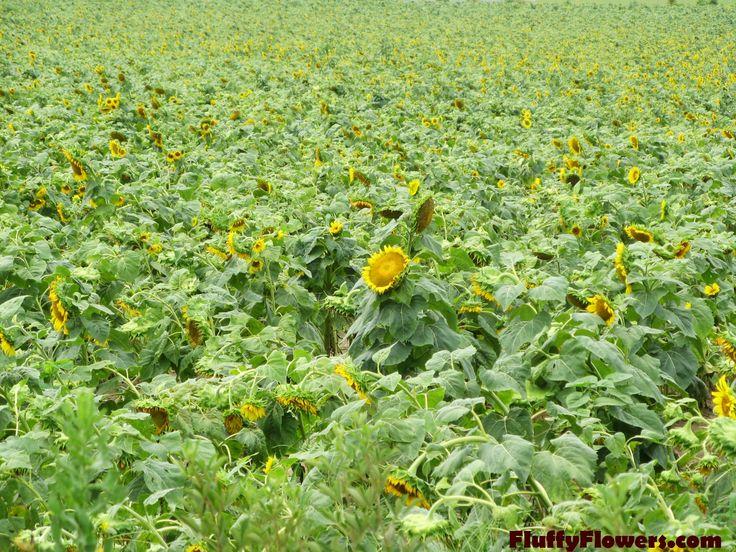 Sunflower Field In Macon Georgia Looks Like France Doesn T It Sunflower Fields Beautiful Places Herbs