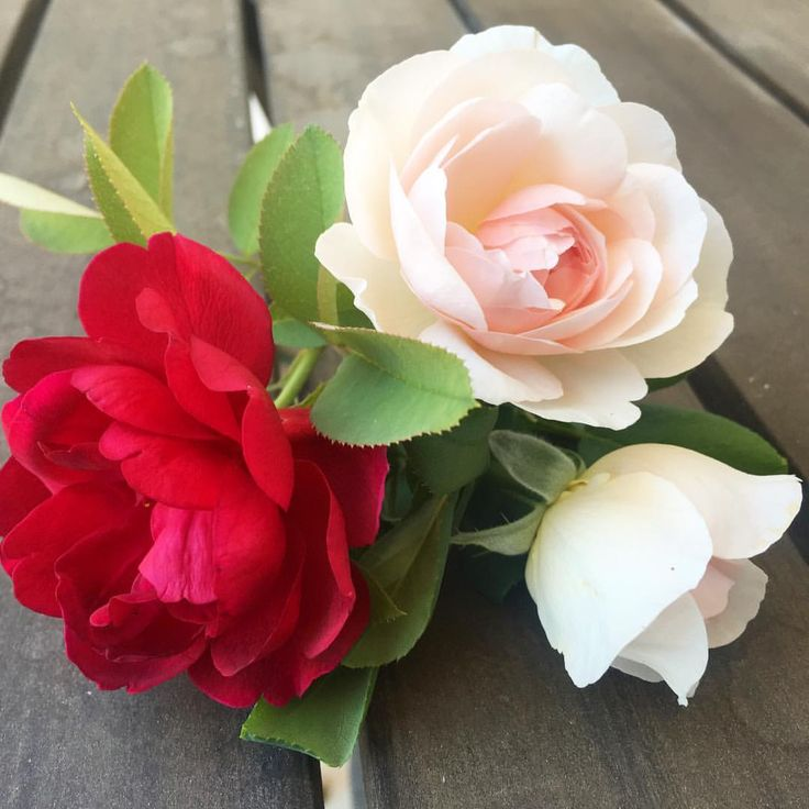 """132 Likes, 7 Comments - Heather (@thefancygardener) on Instagram: """"Freshly cut 'Darcey Bussell' and 'Heritage' roses. Every day here our temps reach 100 degrees or…"""""""
