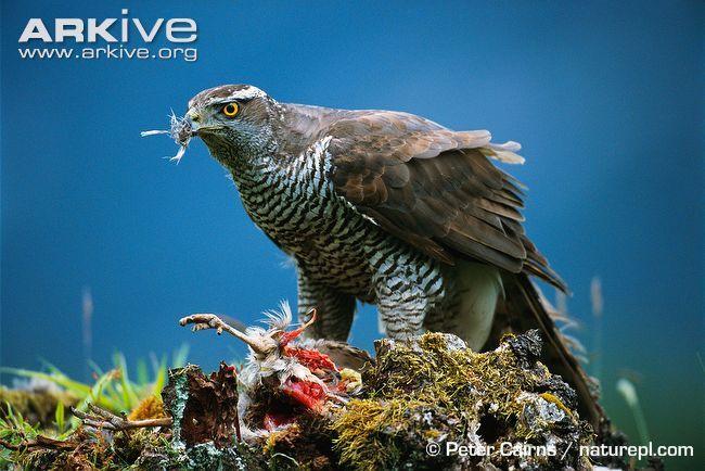 Northern goshawk male plucking prey