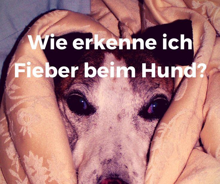Wie erkenne ich #Fieber beim #Hund?