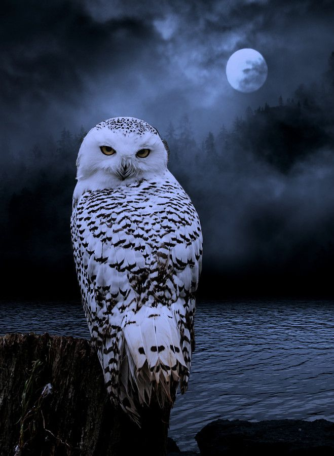 Snowy owl in flight at night - photo#13