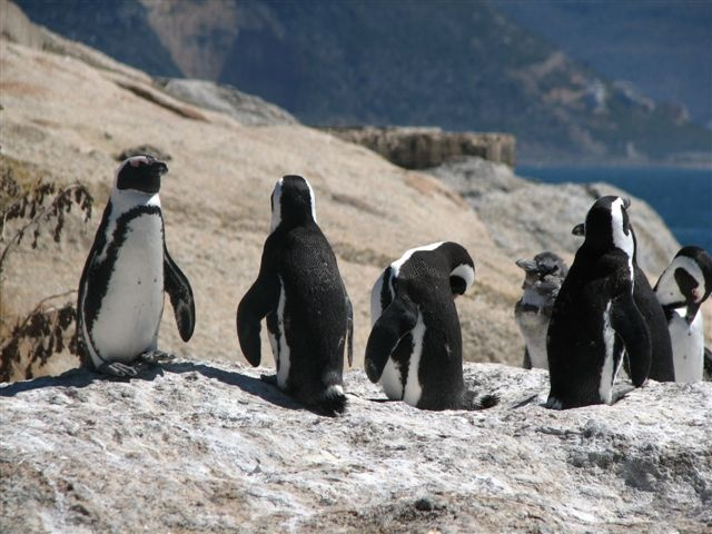 Boulders Beach Cape Town, South Africa  Africa.. In Your Wildest Dreams  http://www.southernskyadventures.com/
