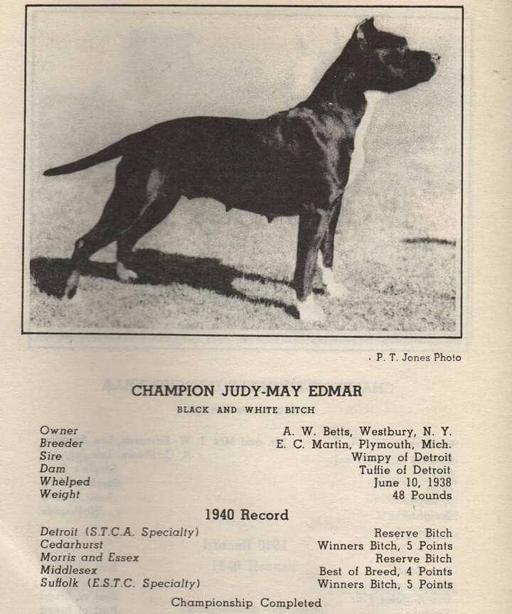 American Staffordshire Apbt Staffordshire Bull Terrier History