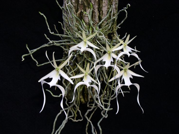 Photography by Keith Davis, award-winning ghost orchid (domestic) - Consultant and Author D. K. Christi