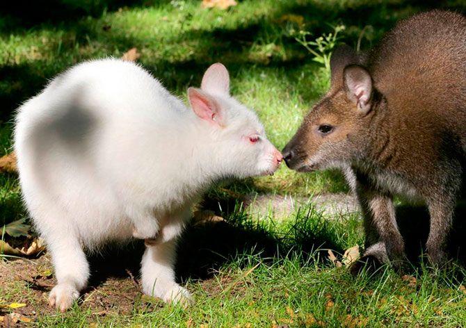 Кенгуру-альбинос по имени Нала (слева) обнюхивает другого кенгуру