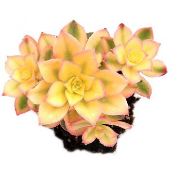 Aeonium Kiwi | Succulent Plants for Sale