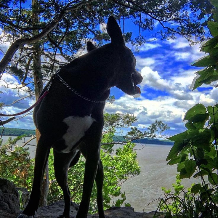Look back at it (the view) • • •  #bordercollie #pitbull #mix #mutt #muttsofinstagram #pawsome #puppy #gsd #wgsd #elsa #summer #dog #dogsofinstagram #dogsarefamily #adoptdontshop #shelterpets #rescue #dogs #dogdaily #gooddog #mustlovedogs #dogobsessed #mixedbreed #doglover #dogdaily #basenji #rescue #rescuedog #adoptdontshop #instadog #mustlovedogs #dogpictures http://misstagram.com/ipost/1563793291475909428/?code=BWztbaYj3s0
