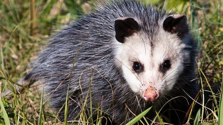 (1) Twitter Opossum, Predator, Raccoon attack