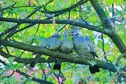 "New artwork for sale! - "" Common Wood Pigeon Pigeons  by PixBreak Art "" - http://ift.tt/2mE46hI"