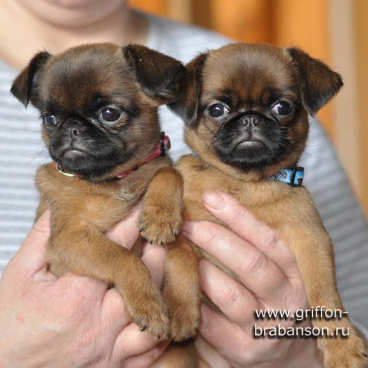 smooth coat brussels griffon puppies - Google Search