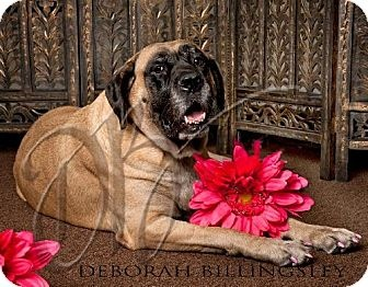 Carmen - Available for Adoption through Great Plains Mastiff Rescue