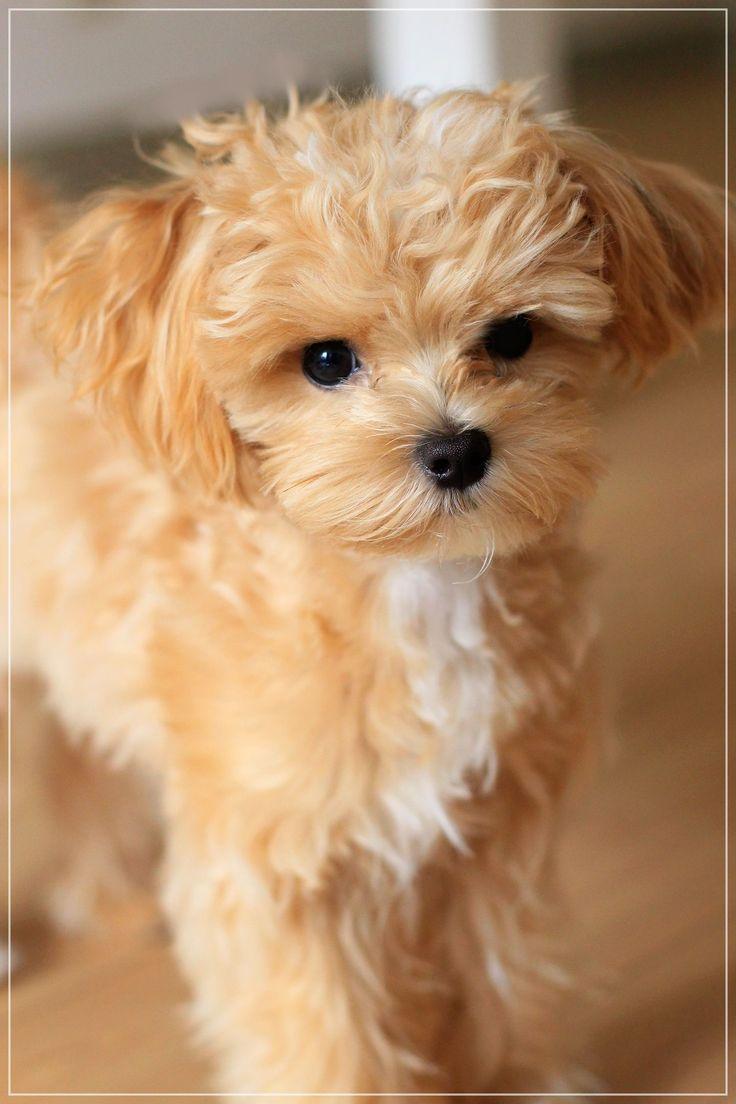 Maltipoo Maltese/Poodle Mix maltese Mascotas bonitas