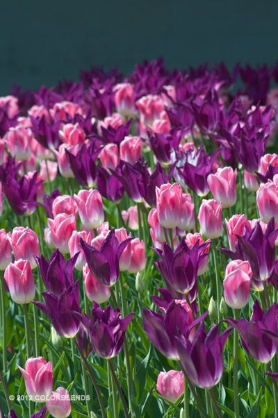 Tulip Your Imminence ™ | Colorblends of Tulips Bulbs for Sale | COLORBLENDS