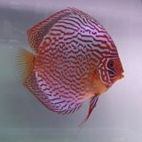 Red Scribbled Discus www.fishkeeper.co.uk #tropicalfish