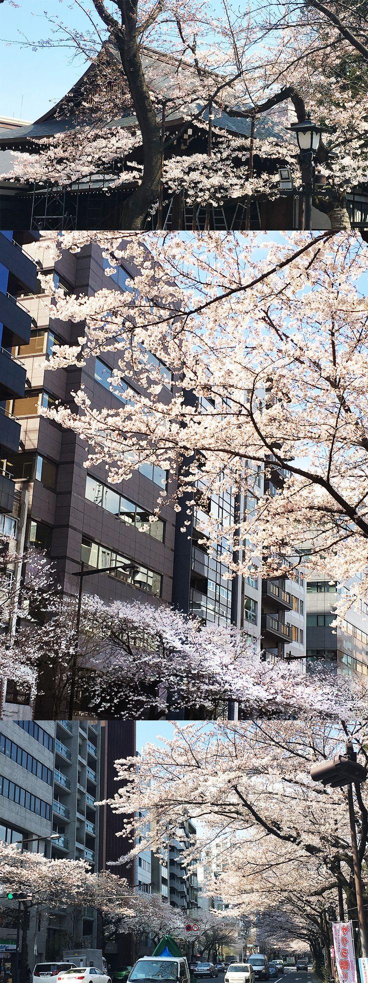 【編集者M】おはようございます。4月になりましたね4月は1月の次に新たなスタートラインって感じがします✨✨✨靖国神社と靖国通り、どちらもお花見シーズンに入ってきましたまだまだ寒い日が続きそうですが、暖かな色に咲いている桜を眺めて心だけでも温まっちゃいましょう