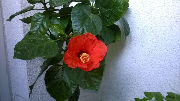 Pierwszy kwiat ketmi