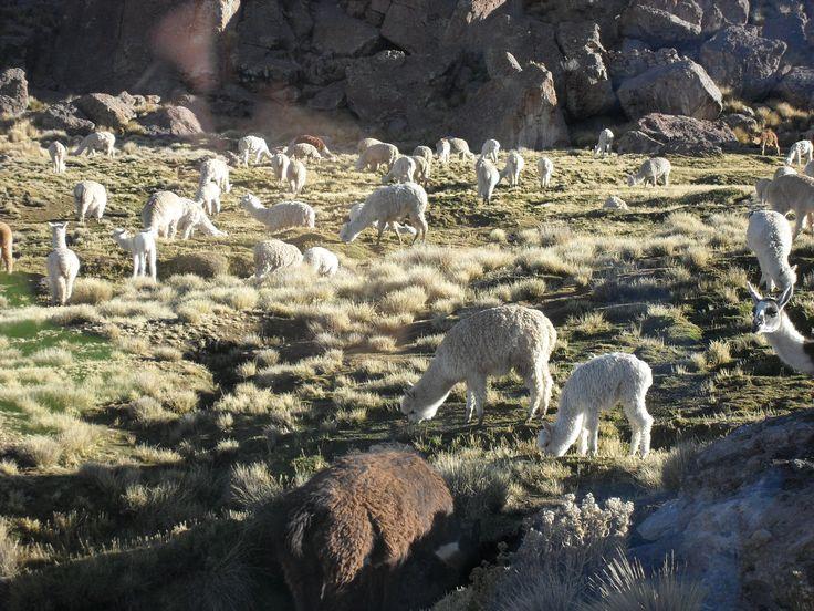 Grasende Alpakas auf der Hochebene auf dem Rückweg vom Colca-Canyon nach Arequipa