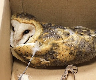 :-( This poor barn owl, with fence wire still imbedded in him, was at Wheeler Wildlife Refuge in Alabama, and was being sent to a rehab facility.