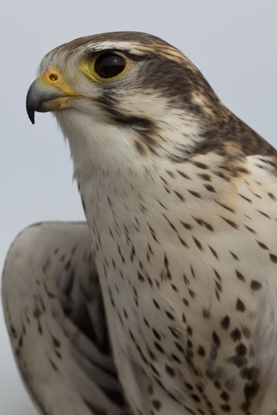 PRAIRIE FALCON -- image by Florence McGinn, taken in Arizona – Love to watch and learn about birds of prey? Then, head to Free Flight at the Arizona-Sonora Desert Museum. Fantastic photo opportunities, too! Learn more at http://www.examiner.com/article/go-photograph-at-arizona-sonora-desert-museum
