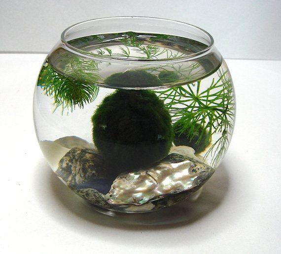 ZEN Marimo Moss Balls in All Natural Zen Pet MIni Aquarium