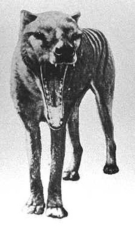 """Very sad that """"Tasmanian Tigers"""" aren't here anymore. But while they were walking the earth, yes, they really could open their mouths that wide. Also amazing was that though they may have in some ways resembled dogs, they were actually marsupials - like kangaroos."""