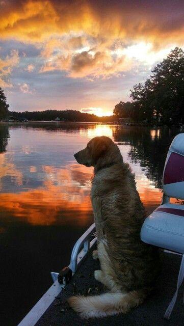 Golden retriever puppy watching the sunset