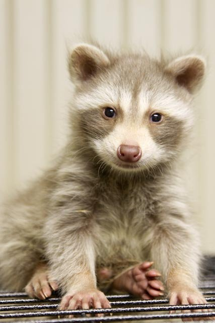 I wanted to share a picture of our leucistic (blonde) raccoon. Isn't he amazing?!?!  June 2, 2010