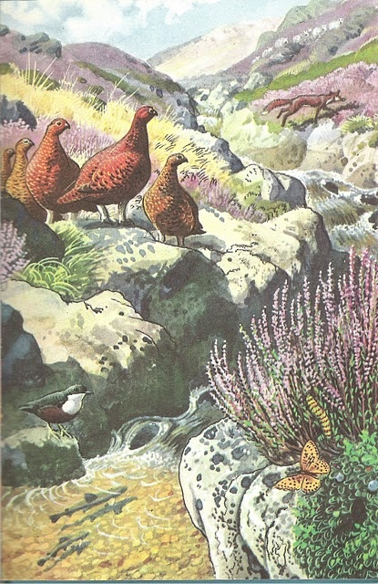 From 'What to look for in summer' - Charles Tunnicliffe for Ladybird books, grouse and heather and streams and foxes.