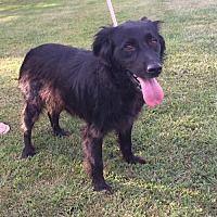 Sussex, New Jersey - Flat-Coated Retriever. Meet SAVANNAH, a for adoption. http://www.adoptapet.com/pet/19312605-sussex-new-jersey-flat-coated-retriever
