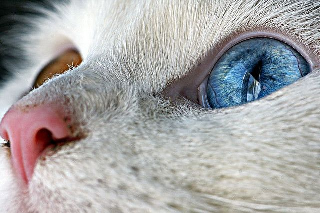 Heterochromia of the eye / Heterochromia is a result of the relative excess or lack of melanin. Incredible photo - zoom highly recommendedFunny Pets, Cool Eye, Cat Eye, Eye Colors, Blue Eye, Kitty, Beautiful Eye, Animal Funny, White Cat