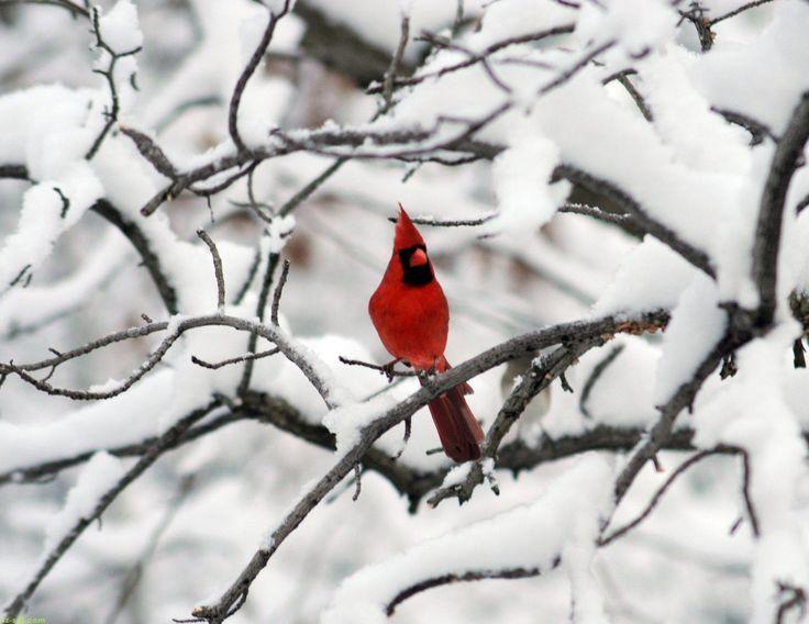 Female Cardinal Flying - wallpaper.