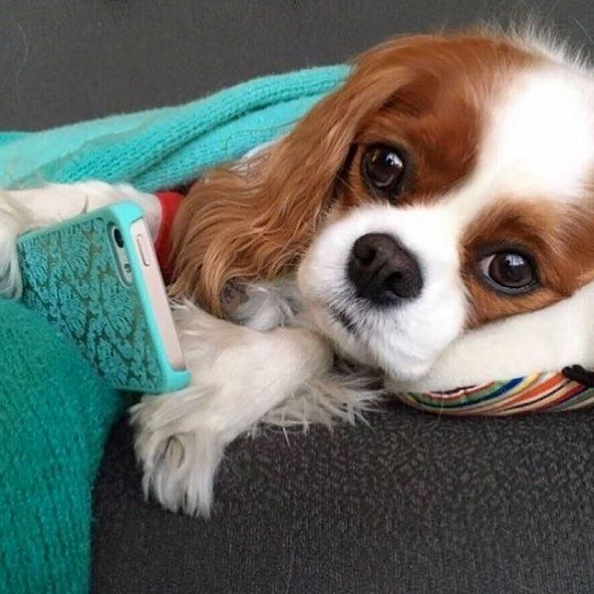 Cavalier King Charles Spaniel Graceful And Affectionate Cavalier King Charles Dog King Charles Dog King Charles Cavalier Spaniel Puppy
