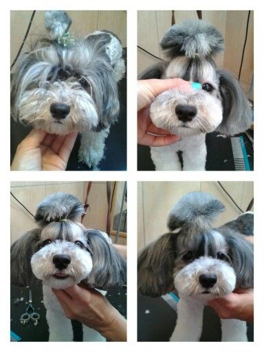 Havanese asian style By Rita Szabo