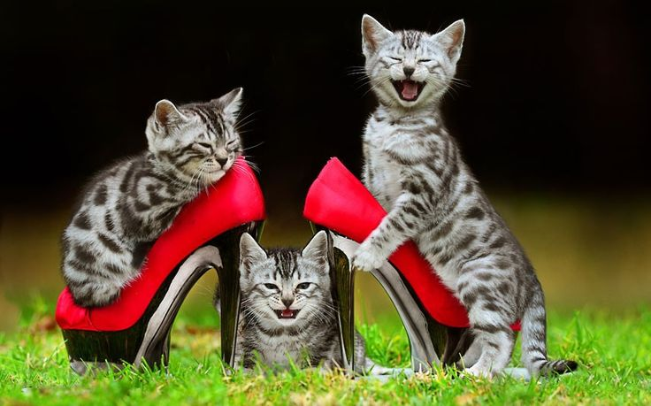 Bengal kittens on shoes!