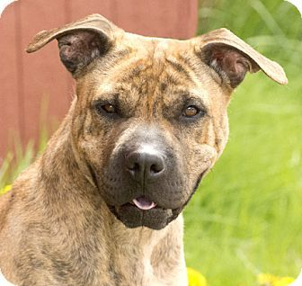 Chicago, IL - Shar Pei/Terrier (Unknown Type, Medium) Mix. Meet Penny, a dog for adoption. http://www.adoptapet.com/pet/13002359-chicago-illinois-shar-pei-mix