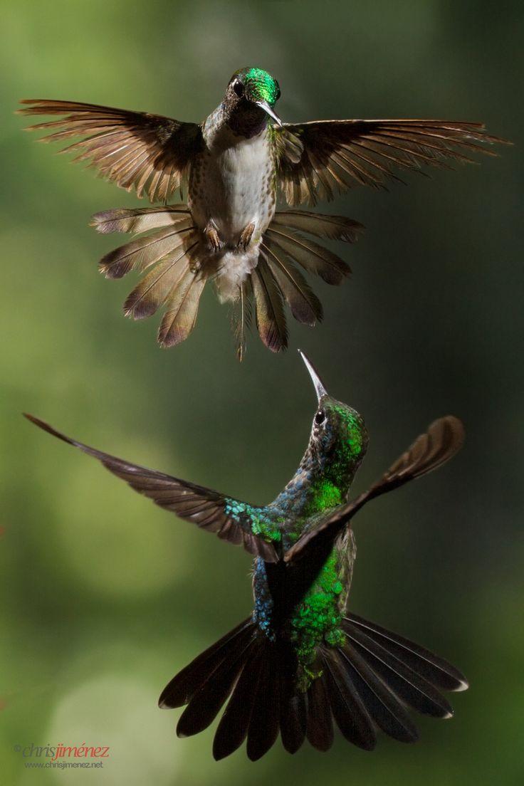 Pas de deux by Chris Jimenez #hummingbirds