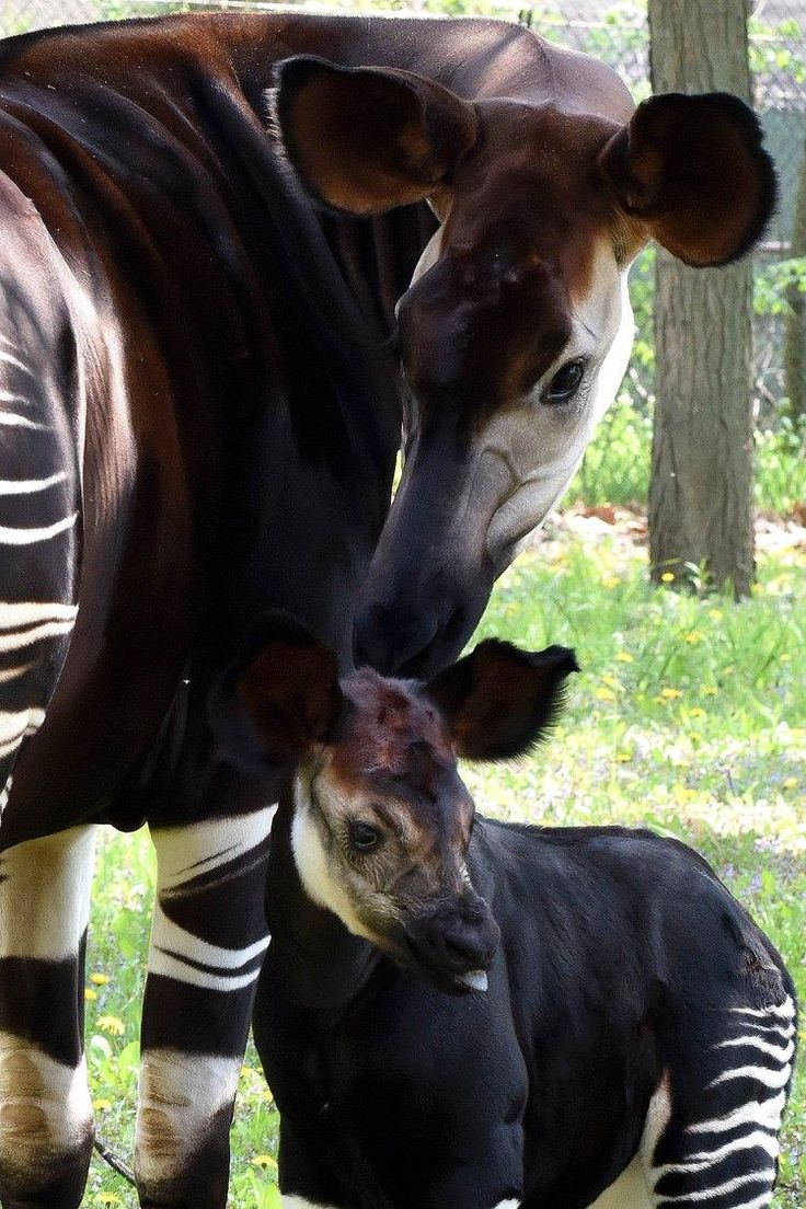 Brookfield Zoo, in Chicago, Illinois, is excited to share photos of 'Will', a male Okapi born at the zoo on April 21, 2015