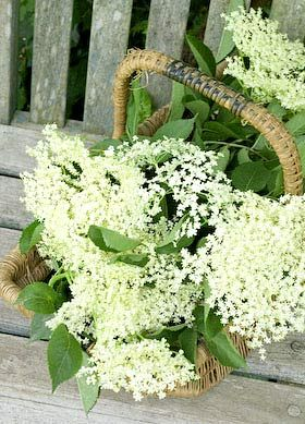 elderflower_cordial - a history